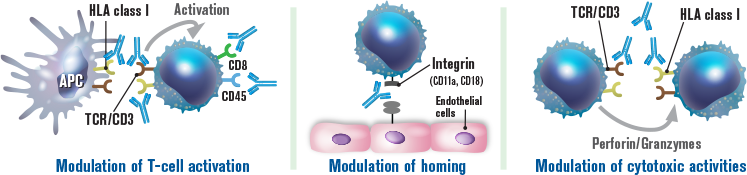 Thymoglobulin may modulate immunosuppression through the following mechanisms: Modulation of T‐cell activation; Modulation of homing; Modulation of cytotoxic activities image