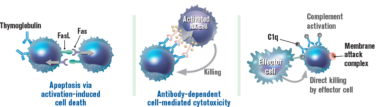 Thymoglobulin may deplete T cells through 3 different mechanisms: Apoptosis via activation‐induced cell death; Antibody‐dependent cell‐mediated cytotoxicity; Complement‐dependent cytotoxicity image
